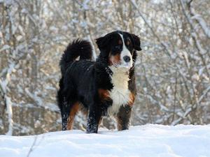 dam bernesemountaindog butterscotch