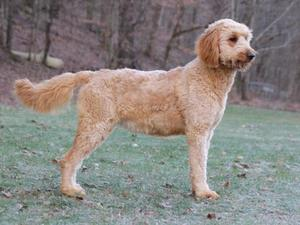 dam goldendoodle marylin
